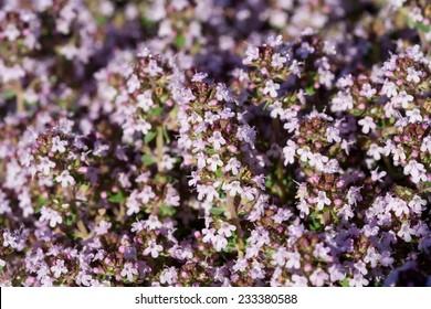 Blooming of Thymus vulgaris
