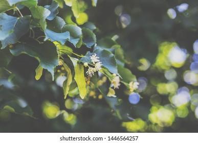 Blooming tilia cordata (linden tree)