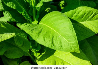 Blooming tobacco plants with leaves