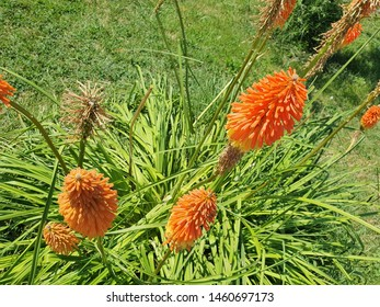 Blooming Torch Lily Flowers in July, Orange Kniphofia Uvaria, Species of Flowering Plant, also known as Poker Plant