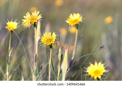 Blooming Tragopogon pratensis  in the meadow. Common names Jack-go-to-bed-at-noon, meadow salsify, showy goat's-beard or meadow goat's-beard