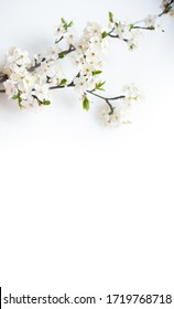 Blooming tree. Apple blossom, apple tree flowers on a branch. White background