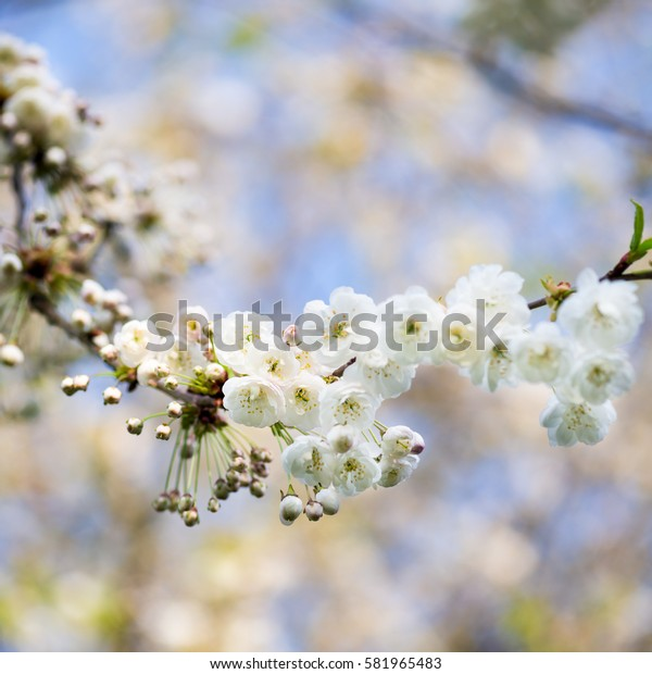 Blooming Tree Branches with White Flowers, Cherry Blooming, Springtime, Park in England, UK