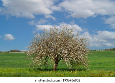 Blooming tree in a green field in spring. White flowers against a blue sky with clouds. A bright optimistic image of nature. Forest on the horizon on a warm day. Latvia