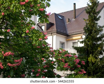 Blooming tree and a house in Zurich, Switzerland
