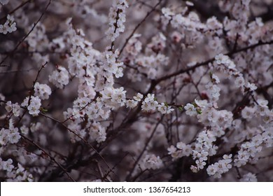 Blooming tree with pink cherry floers