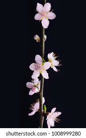 Blooming tree in spring isolated on black