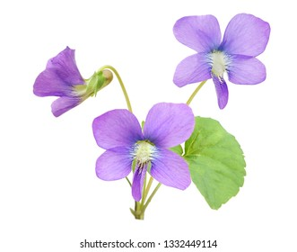 Blooming tree of viola odorata flowers isolated on white background