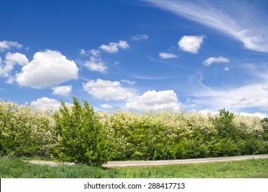 Blooming trees acacia(Robinia pseudoacacia) against the sky