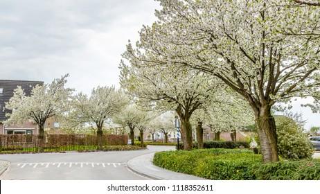 Blooming  trees in the streets during spring in Eck en Wiel, Gelderland, Netherlands