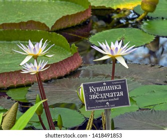 """Blooming tropical waterlily Nymphaea nouchali in the greenhouse of the botanical garden. The russians word at the nameplate say """"Star Lotus. Tropics of South and Southeast Asia"""""""