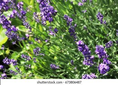 Blooming true lavender (Lavandula angustifolia) in the summer garden