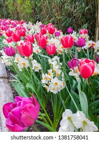 blooming tulip field of flowers in the garden