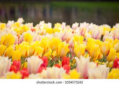 blooming tulip flowerbed in a park