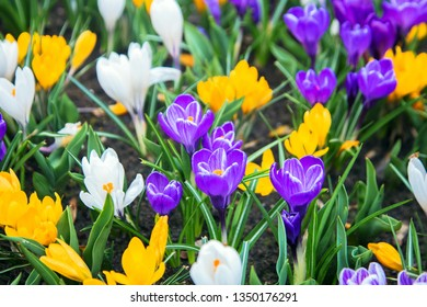 Blooming tulips, crocus and other flowers of different varieties and colors. Spring bright plenty of beautiful flowers. Colorful floral background.