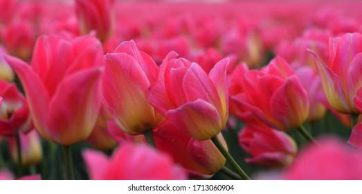 blooming tulips in   Keukenhof park