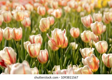 Blooming tulips with orange and white stripes at the Canadian Tulip Festival in Ottawa, Canada.