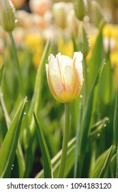 Blooming tulips with orange and white stripes