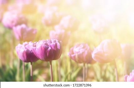 Blooming tulips spring background. Pink tulips on a lawn in spring time