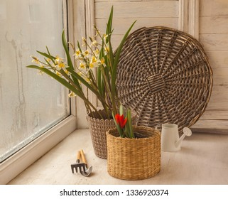 Blooming Turkestan botanical tulips and two-flowered in pots on the window