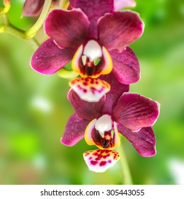blooming twig of beautiful dark purple orchid, phalaenopsis on green blur background, closeup