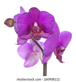 Blooming twig of purple orchid isolated on white background. Closeup.