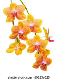 blooming twig of unusual spotted orange orchid, phalaenopsis is isolated on background, close up, make up
