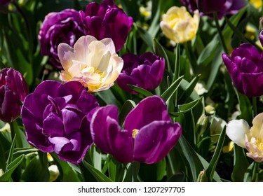 Blooming variegated white and yellow tulip in a bed filled with purple and white tulips.