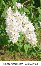 "Blooming varietal selection white lilac (Syrínga). The sort of ""Galina Ulanova"""