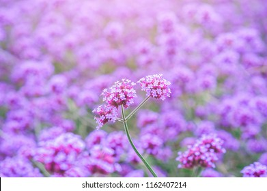 Blooming Verbena field on summer sunset. Purple flower field in isolated background.