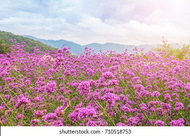 Blooming Verbena field on summer sunset Purple flower field in isolated background.  Beautiful flowers isolated of purple Verbena at Mon jam, Chiang Mai, Thailand