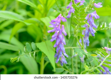 Blooming Vicia cracca, also tufted vetch, cow vetch or boreal vetch in macro view. Spring meadow purple flowers of Woolly or Fodder Vetch - Vicia villos blossom in spring garden