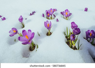 Blooming violet crocuses in mountains. Carpathians, Ukraine Europe