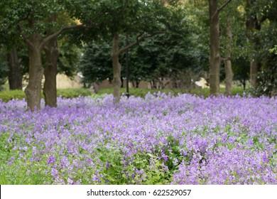 Blooming violet flower garden