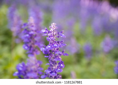 Blooming violet lavender flowers in sunny day
