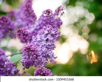 Blooming violet lilac bush at spring time with sunlight. Blossoming purple and violet lilac flowers. Spring season, nature background