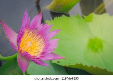 Blooming Violet Lotus flower or Nymphaea nouchali or Nymphaea stellata is a water lily of genus Nymphaea. Bees in pink  Lotus Flower.