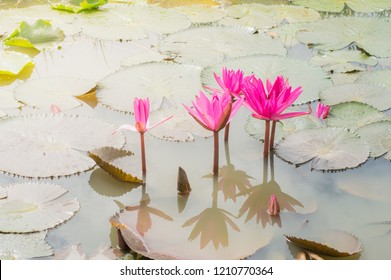Blooming Violet Lotus flower or Nymphaea nouchali or Nymphaea stellata is a water lily of genus Nymphaea. Bees in pink  Lotus Flower.