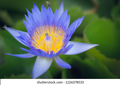 Blooming Violet Lotus flower or Nymphaea nouchali or Nymphaea stellata is a water lily of genus Nymphaea.