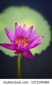 Blooming Violet Lotus flower or Nymphaea nouchali or Nymphaea stellata is a water lily of genus Nymphaea.violet waterlily or lotus flower with many bee in garden.