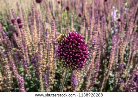 Blooming violet onion plant in garden. Field of honey flowers and bees. Flower decorative onion. European nature.