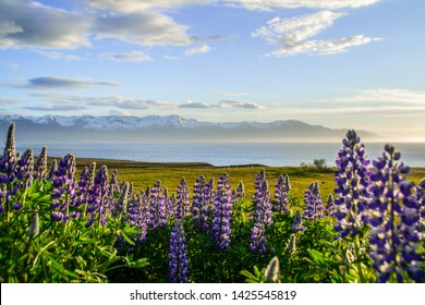 Blooming violet/purple Lupine flowers and snow covered mountains on background while sunset. Scenic panorama view of Icelandic landscape. Húsavík, North Iceland.