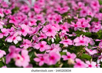 Blooming vivid pink Catharanthus roseus with green leaves and blurred background in summer season. (Madagascar periwinkle, rose periwinkle, or rosy periwinkle)