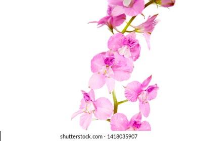blooming vivid wild purple pink Delphinium ambiguum Consolida ambigua ajacis doubtful knight's spur, rocket larkspur botanical species flowers isolated on white