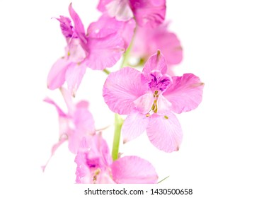 blooming vivid wild purple pink Delphinium ambiguum Consolida ambigua ajacis doubtful knight's spur, rocket larkspur botanical species flowers isolated on white