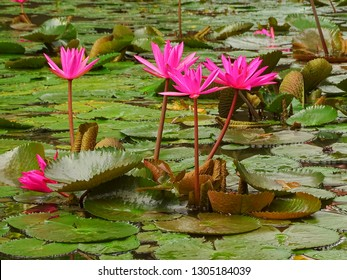 Blooming water lillies in a lotos pond