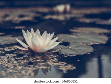 Blooming water lilly in the old pond