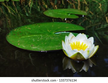 Blooming water lily on the water surface