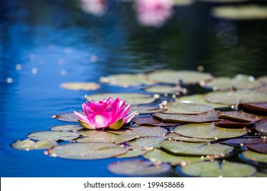 Blooming water lily in small pond.