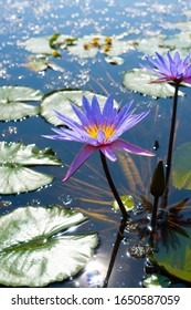 Blooming waterlily in a garden pond at springtime. It has pink and white petals and a yellow center. It is surrounded by green water leaves. The waterlily reflects in the water.
